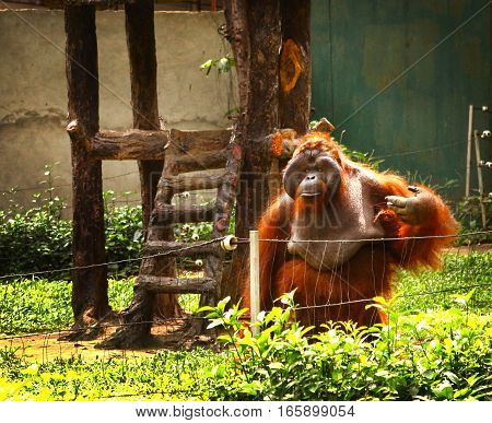 orangutan in zoo begging for food in ho chi mihn city