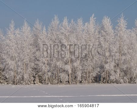 The rimed birches in the fantastic frosty wood