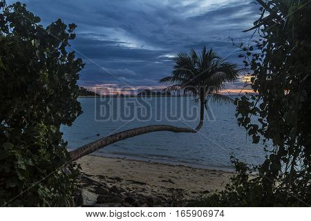 Unusual palm tree growing over a beach on Koh Phangan, Thailand