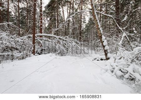Winter Pine Forest Covered With Frost At Mainly Cloudy Weather.