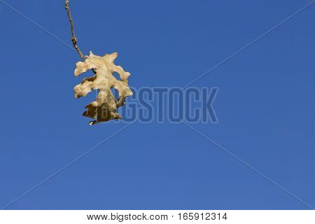 Closeup image of dry oak tree leaf about to fall.