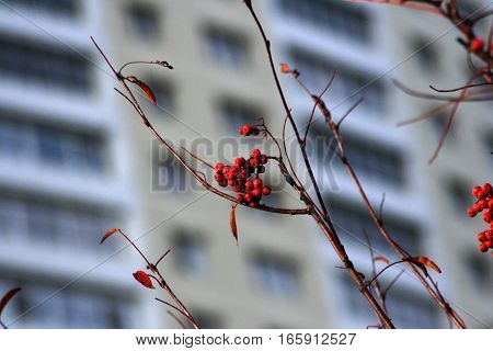 Close-up of bright rowan berries on a background of a building
