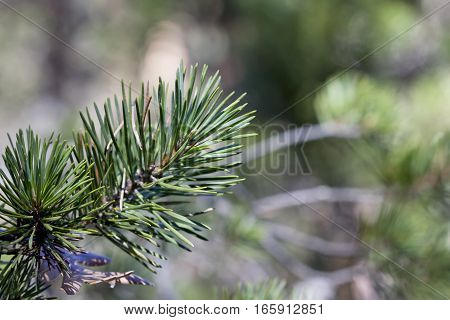 Closeup image of pinus sylvestris pine needles.