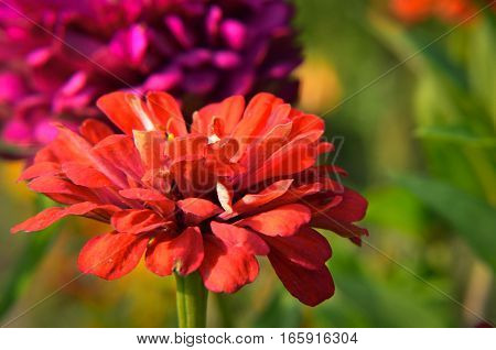 Red Flower Of Youth-and-age, Zinnia Elegans, Macro