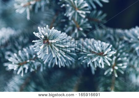 Winter concept. Coniferous branches on a dark background in the forest. Branches and needles covered by snow.