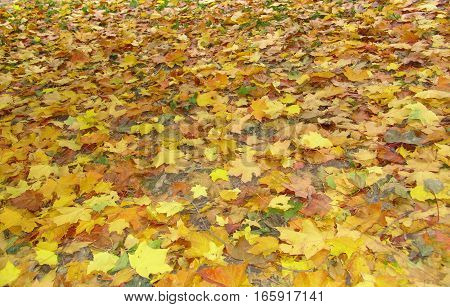 Fallen leaves on grass. Landscape of colorful fall leaves on forest floor. Whole background