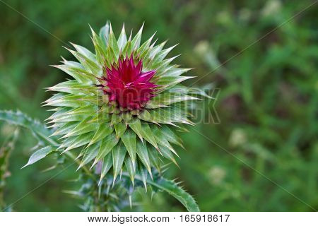 bud of a thistle in a meadow closeup