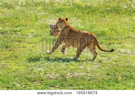 Lioness Running with a Piece of Meat in her Teeth