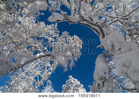 Snowy tree branches against the blue sky after a heavy snowfall in the Ural mountains.