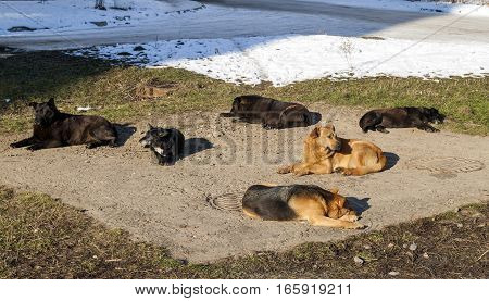 Homeless dogs in winter time heating on sanitaryware well. Stray dogs basking on the sewer hatch in cold weather in winter
