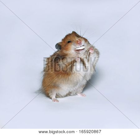 Happy brown hamster with pumpkin seed screwed up his eyes from pleasure