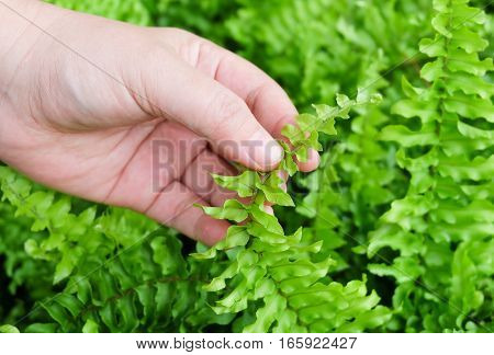 Ecology and Environment Concept Closeup of Hand Holding Carefully Pteridophyta or Tassle Ferns. Taking Care of The Garden.