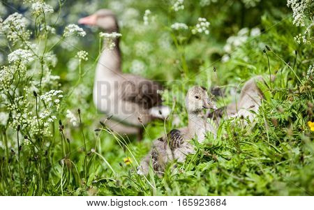 A spring rural scene with geese and baby geese (goslings) foraging for food in the grass.
