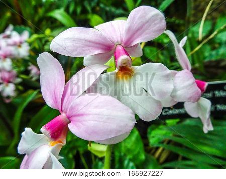 light pink orchids cattleya blooming in garden