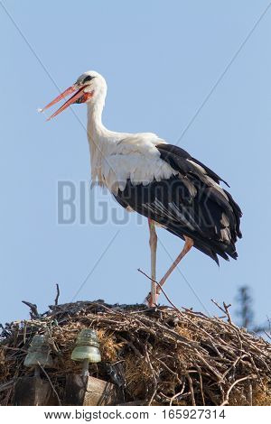 Young Stork standing over his nest with his open beak