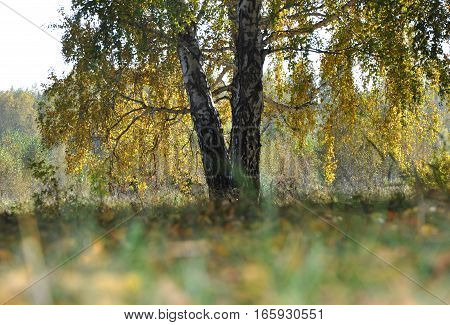 Landscape early autumn. Large sprawling birch with yellow and green foliage on a background autumn forest. Ahead of grass and leaves. West Siberia