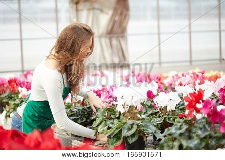 View of an Young attractive woman harvesting flowers in a greenhouse