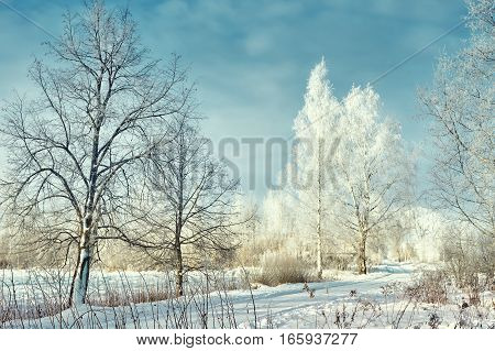White birch trees with frost on the roadside