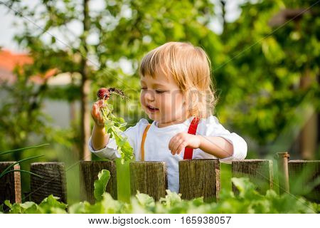 Little child picking up red radishes in backyard garden