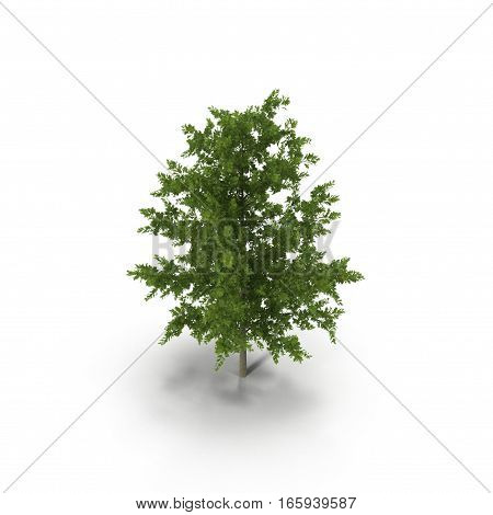 Young Red Oak Tree Summer on white background. 3D illustration