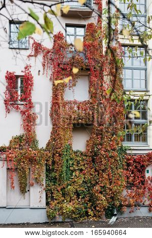 The windows of a house overgrown with vines. Vine leaves of different shades of color from red to green.