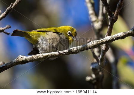Single cape white-eye perched on a branch