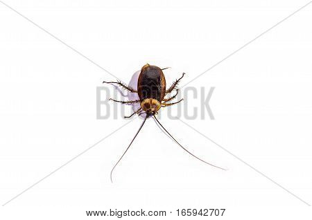 close up cockroach body isolated on white background