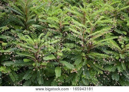 fresh green phyllanthus pulcher plant in nature garden