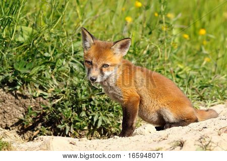 cute european wild fox cub ( Vulpes ) curious about the photographer