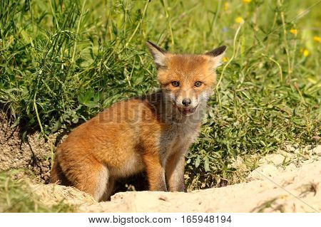 cute young european red fox standing at the entrance of the den ( Vulpes wild animal )