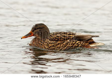 female mallard duck swimming on water surface ( Anas platyrhynchos )