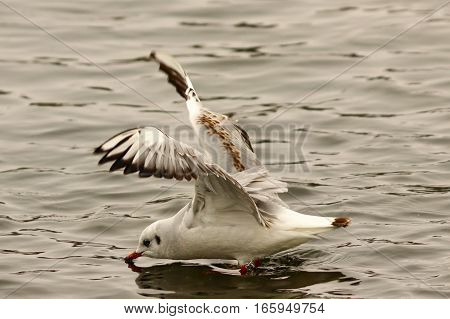 juvenile black headed gull flying over water ( Chroicocephalus ridibundus )
