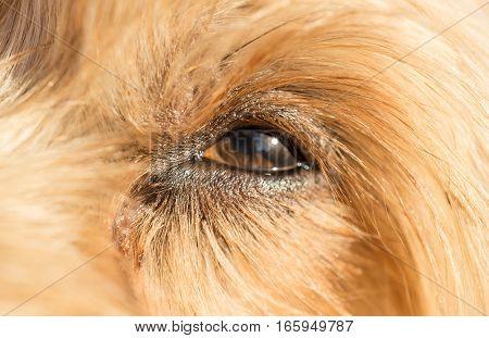 Cute dog eye looking up Loving little dog look Yorkshire Terrier brown hair