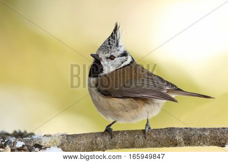 Lophophanes cristatus the cute european crested tit perched on twig