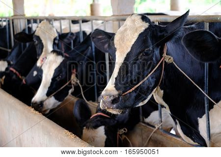 Close up cow milk in farm at Thailand
