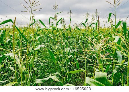 corn plants in a corn field close-up on a cloudy day