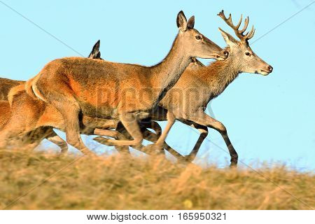 red deers running on top of the hill ( Cervus elaphus buck and females in mating season )
