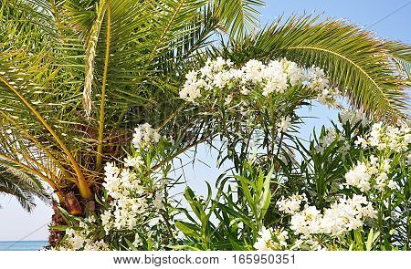 Exotic palm bloom and the white oleander