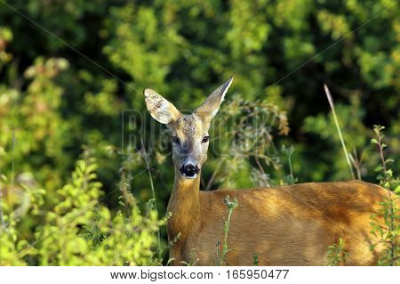 portrait of wild roe deer doe near the forest ( Capreolus )