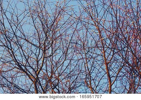 Pussy-willow tree branches at spring outdoors on blue sky background