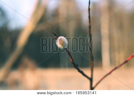 Pussy-willow tree branches at spring nature background outdoors