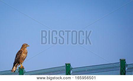 Bird of prey hawk sitting on a metal fence.