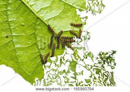 Leopard Lacewing Caterpillars