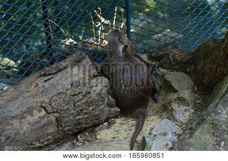 Cute coypu (nutria river rat) in a zoo on a summer day