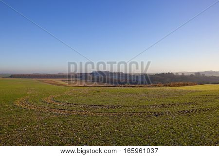 a young wheat crop in a scenic yorkshire wolds landscape with curving tyre tracks and woodlands in the distance under a clear blue sky on a cold winter morning