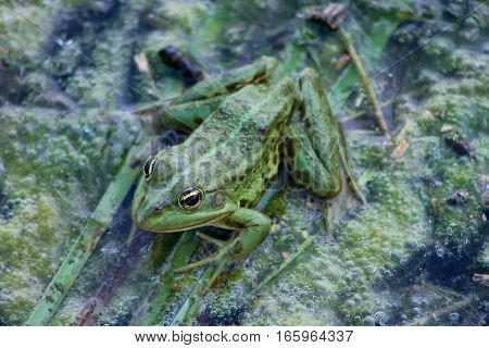 background with green  frog and river aquatic plants