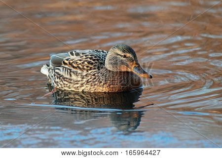 Portrait Of A Young Mallard At The Ice Edge