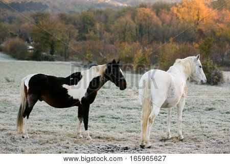 Two Horses In Early Morning