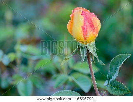 fresh roses in natural background in garden