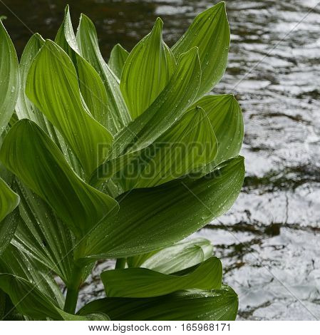 Big leaves with fresh rain drops on a plant on the banks of the Deschutes River in Central Oregon.